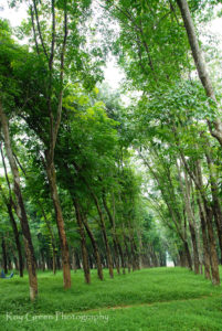 Interior design Giclee print wall art and fine art photography. green rubber trees plantation