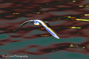 soft uk fine art photo of black headed seagull in flight.