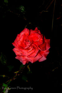 Fine art photography ideas with red rose on black background.